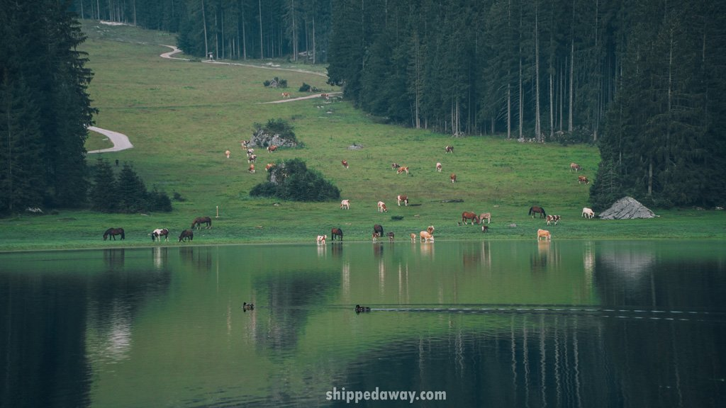 Horses and cows at Laghi di Fusine in Italy
