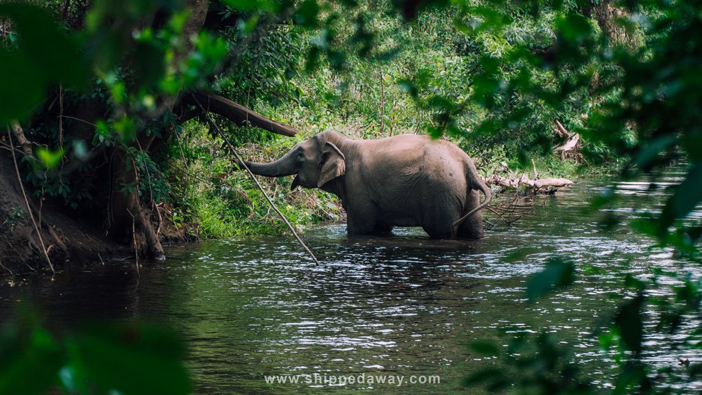 Elephant foraging in the lush forest of Yok Don National Park