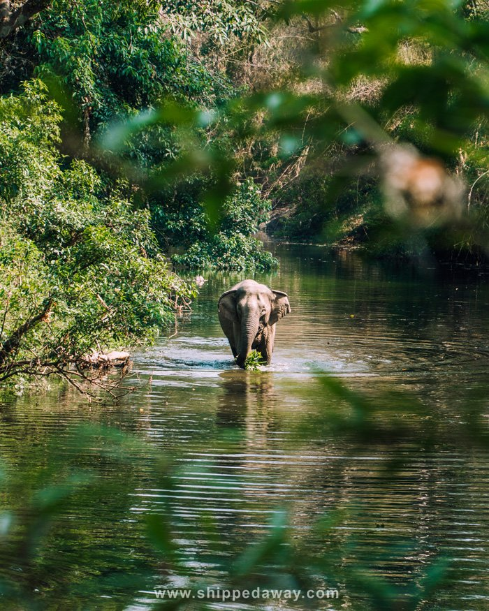Elephant walking in a river at Yok Don National Park
