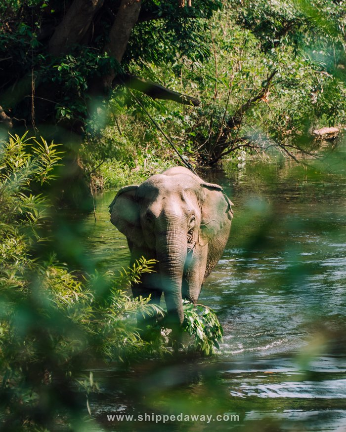 Elephant walking through a river at Yok Don National Park's ethical elephant experience