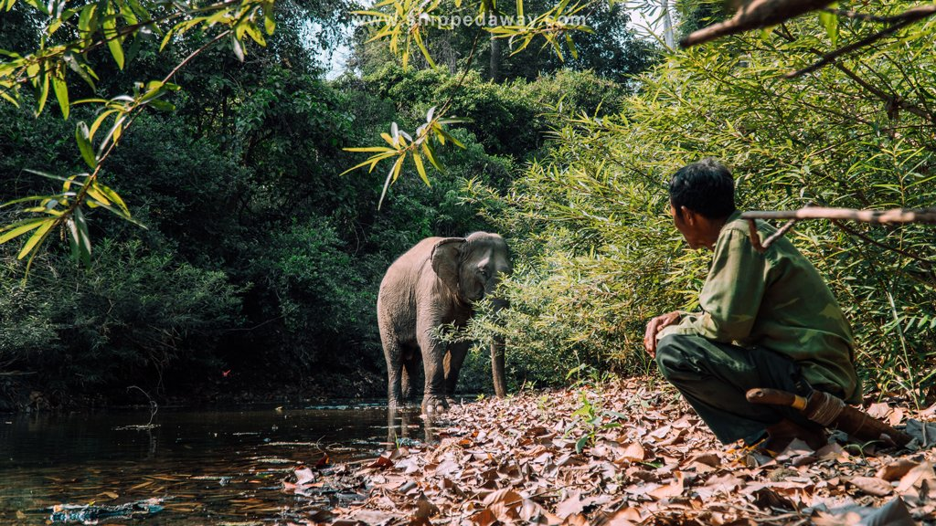 Mahout watching over an elephant on an ethical elephant experience in Yok Don National Park