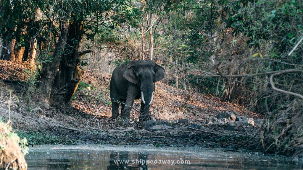 Wild elephant spotted in Yok Don National Park